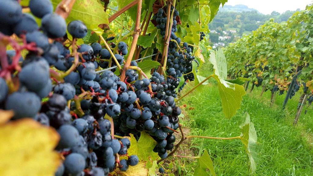 CG-Wein-Weinlagenwanderung-Weinprobe-Bensheim (23)