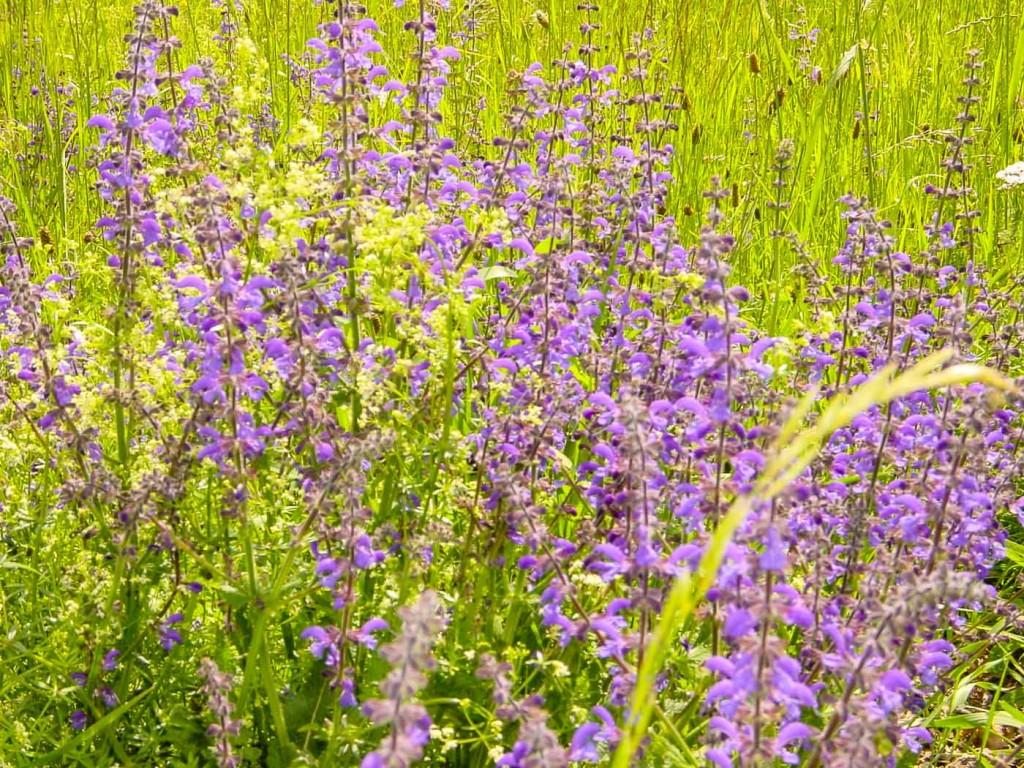 Eine Wiese bei Gronau mit Blüten.